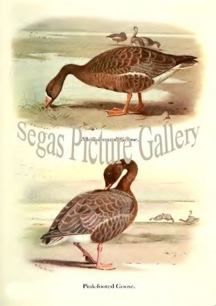 White-fronted Goose & Pink-footed Goose